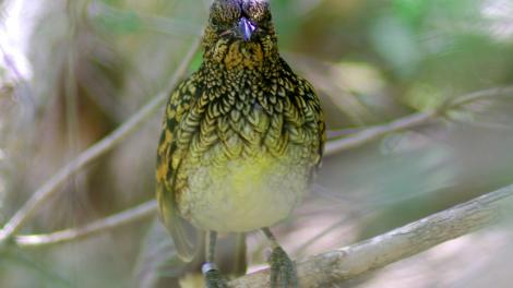 A small, green bowerbird sitting on the forest floor