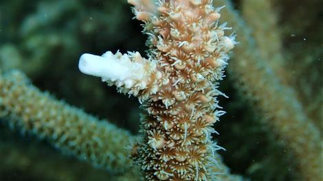 Image of Acropora pulchra