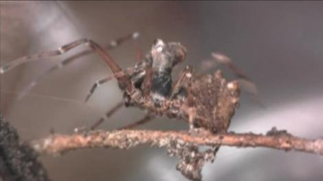 Picture of a spider (Zephyrarchaea mainae) on a branch