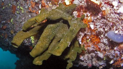 A new species of sponge, pictured growing on a rock overhang in a reef