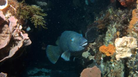 A Blue Groper swimming through a reef