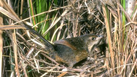 Image of a Noisy Scrub-bird
