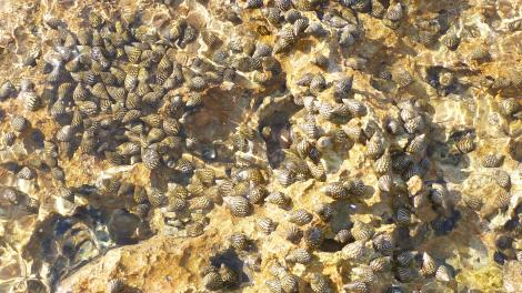 A large group of the clusterwink Planaxis sulcatus (Born, 1778) covered by the incoming tide at Exmouth. (Photo: Nerida Wilson)