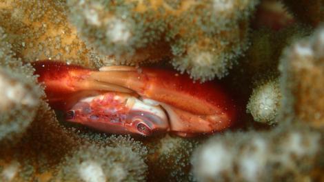 The coral crab Trapezia cymodoce in a Pocillopora coral colony.