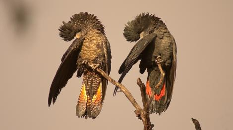 Female and male Forest Red-tailed Black Cockatoos perched on a branch preen in synchrony