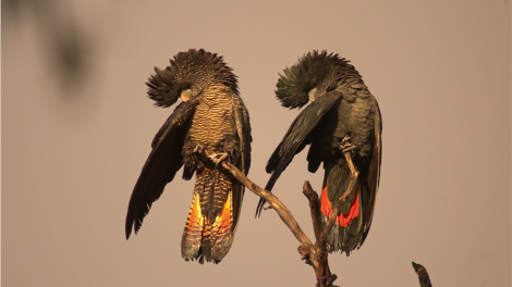 Forest Red-tailed Black Cockatoo pair