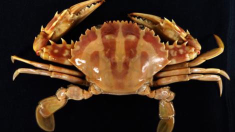 The crucifix crab Charybdis feriatus (Linneaus, 1758)