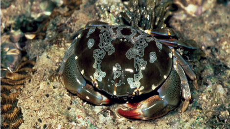 A heavily camouflaged crab on the sea floor