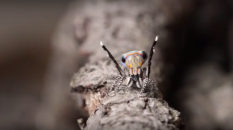 Peacock Jumping Spider Dance