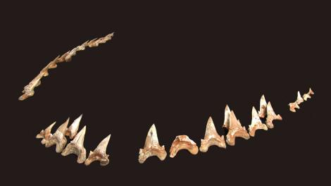 A series of shark teeth assemble to resemble its jaw line