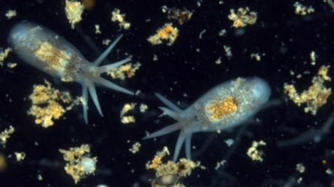 Two live individuals of Temnosewellia minor