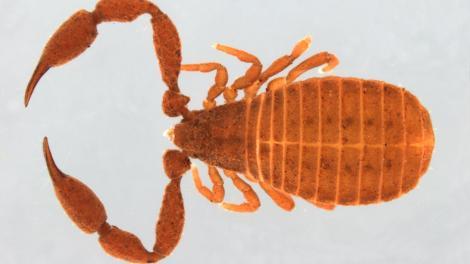 Image of Pseudoscorpion