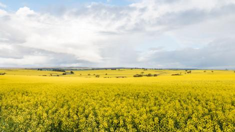 Image shows landscape of canola fields and cloudy blue sky above.