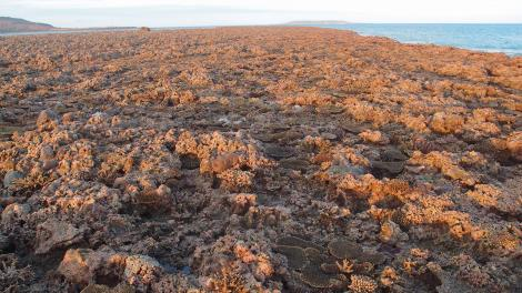 Image of Intertidal coral cover in the northwest of Western Australia