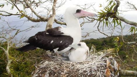 Abbott's Booby (Papasula abbotti), Christmas Island