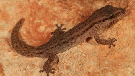 Cape Range Clawless Gecko (Crenadactylus tuberculatus)