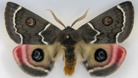 "A spectacular moth with camouflaged ""eyes"" on its wings"