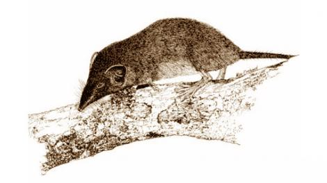 Illustration of a Christmas Island Shrew perched on a branch