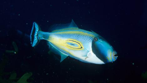 A large blue, colourful fish swimming