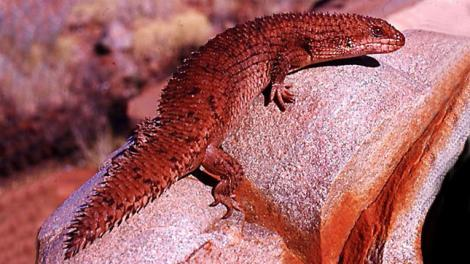 A red skink resting on a large stone