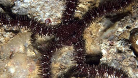 A large brown brittlestar with long arms