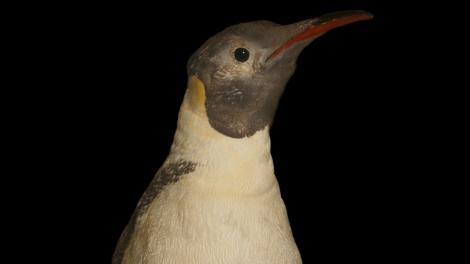 The face of a famous penguin collected by explorer Mawson