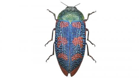 A highly colourful beetle