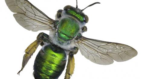 A bright green bee specimen