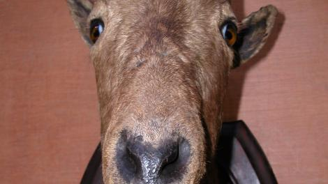 Image of mounted tahr trophy head prepared by Theobald Bros