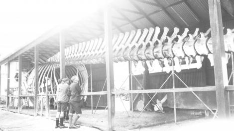 """Old b&w photo shows three young men looking at large whale skeleton."""