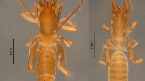 Male and female specimens of Harveyus contrerasi.