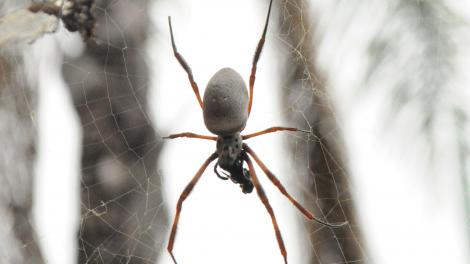 Image of an Orb-weaving spider in its web
