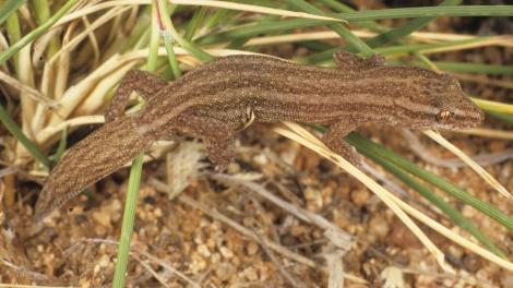 C. pilbarensis