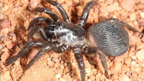 """""""A close up image of the new spider. It is very big and is sitting on red dirt."""""""