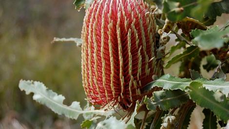 """""""Banksia - red and yellow conical flower with green spiky leaves."""""""