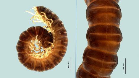 Scientific descriptive photo of a novel millipede species