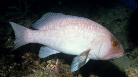 A large Breaksea Cod fish swimming