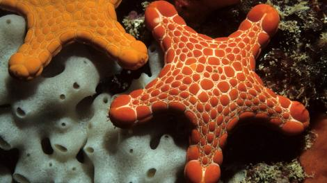 2 sea stars on coral underwater