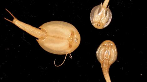 Three small Triops australiensis crustaceans