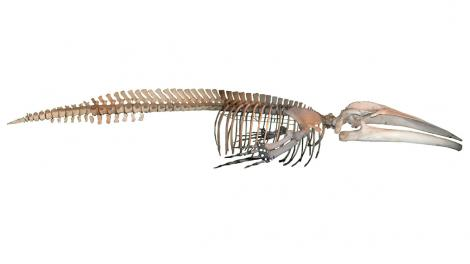 A full blue whale skeleton on a plain background