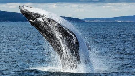 Humpback Whale breaching off Albany