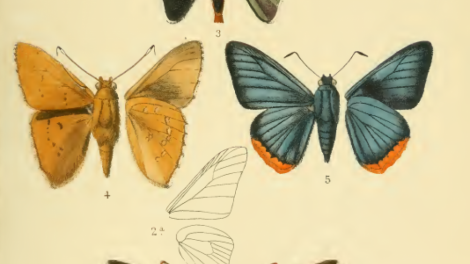 A page of detailed colour illustrations of butterflies