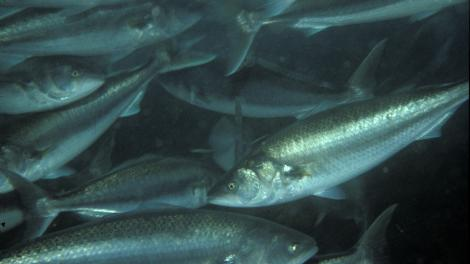 A school of Salmon swimming in the ocean