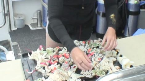 A scientists sorting through a tray of corals