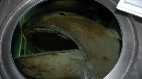 The head of a Megamouth shark