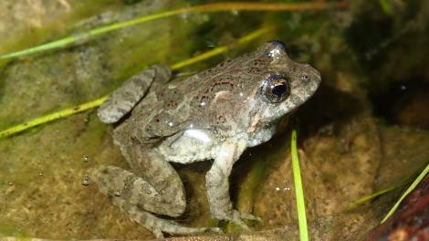 Bleating froglet (Crinia pseudinsignifera) in water