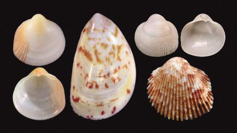 Four new cockle species (top and bottom on the far left: both sides of Pratulum occidentale; middle, larger speckled shell: Acrosterigma extremattenuatum; top-right: both sides of Microcardium scabrosum; bottom right: Ctenocardia pilbaraensis).