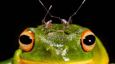 Overall winner 'Piercing Headache' by Matthew McIntosh of Queensland shows a frog being bitten by mosquitoes.