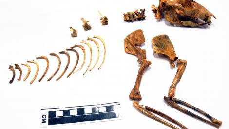 Near complete skeleton of Ganguroo robustiter