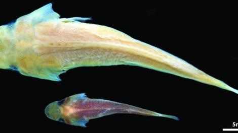 Duckbilled Clingfish specimens